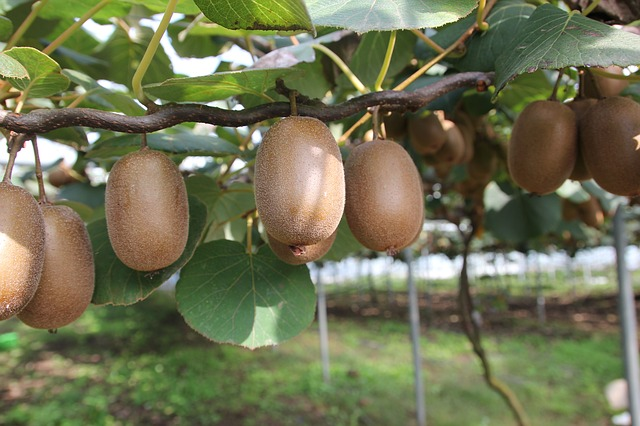 árbol Kiwi
